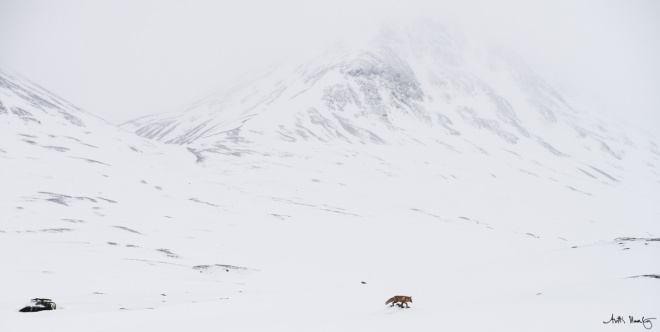 900+ m altitude, mid winter, Sarek national park. A red fox.